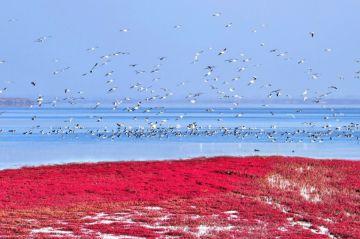 Красный пляж: крупнейший болотный массив в мире привлекает редких птиц