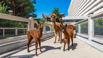 В зоопарке  отеля «Ялта-Интурист» - настоящий «бэби-бум»! Родителями стала семья альпака!