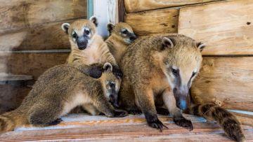 Три маленьких детеныша носухи подрастают в зоопарке отеля «Ялта-Интурист»